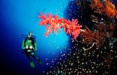 Scuba diver and Red soft corals, Acropora divaricata, Sudan, Africa, Red Sea