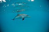 Atlantic spotted dolphin, Stenella frontalis, USA, FL, Florida, Atlantic Ocean
