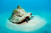 Conch shell, Strombus gigas, Bahamas, Atlantic Ocean