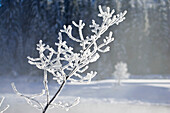 branch with whitefrost, winterscenery, Upper Bavaria, Germany