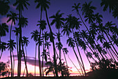 Palm trees. Royal Kapuaiwa Palm Grove. Kaunakakai. Molokai Island. Hawaii