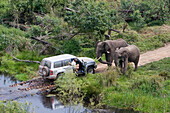 Safari through the jungle, Jeep with two elephants, Elephants blocking the road, South Africa, Africa, mr