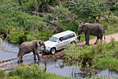 Safari through the jungle, Jeep with two elephants, South Africa, Africa, mr