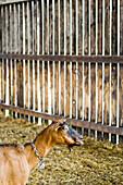 Goat on a farm, Kevelaer, North Rhine-Westphalia, Germany
