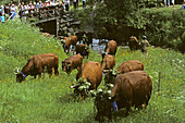 grazing season, traditional cattle drive, Wildemann, Harz Mountains, Lower Saxony, northern Germany