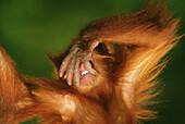 Sumatran Orangutan (Pongo pygmaeus abelii). Sumatra