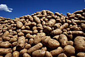 Abundance, Abundant, Agriculture, Aliment, Aliments, Color, Colour, Exterior, Farm, Farming, Farms, Food, Foodstuff, Harvest, Harvesting, Harvests, Horizontal, Many, Outdoor, Outdoors, Outside, Plenty, Potato, Potatoes, Veg, Vegetable, Vegetables, Vegs,
