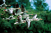 Greylag Goose (Anser anser), Somme Bay Nature Reserve, Picardy, France