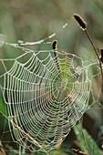 Außen, Bedrohung, Bedrohungen, Empfindlich, Falle, Fallen, Farbe, Gefahr, Hintergrund, Hintergründe, Komplex, Konzept, Konzepte, Muster, Nahaufnahme, Nahaufnahmen, Natur, Pflanze, Pflanzen, Spinnweben, Symbol, Symbole, Tageszeit, Vertikal, Vielschichtig,