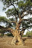 Ana tree (Acacia albida). Namibia