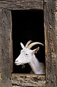 Goat.