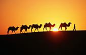 Camels. Gobi Desert. China