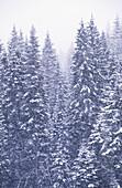 Aussen, Außen, Baum, Bäume, Farbe, Jahreszeit, Jahreszeiten, Kalt, Kälte, Natur, Pflanze, Pflanzen, Schnee, Tageszeit, Vegetation, Verschneit, Vertikal, Wald, Wälder, Winter, D67-235022, agefotostock
