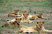 Young african lions, Panthera leo, Serengeti, Tanzania