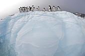 Adelie Penguins (Pygoscelis adeliae). Eroded Iceberg. Dumont d Urville. Antarctica