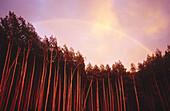 Rainbow over tall aspen trees