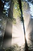 Lady Bird Johnson Grove. Redwood NP. California. USA