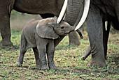 One hour old Elephant (Loxodonta africana). Amboseli National Park. Kenya