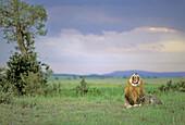 Lion (Panthera leo) before a thunderstorm. Masai Mara. Kenya