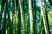 Außen, Bambus, Detail, Details, Dicht, Dick, Farbe, Grün, Hintergrund, Hintergründe, Horizontal, Landschaft, Landschaften, Muster, Nahaufnahme, Nahaufnahmen, Natur, Ökosystem, Ökosysteme, Pflanze, Pflanzen, Stiel, Stiele, Tageszeit, Vegetation, Wald, Wäl