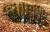 Autumn, Autumnal, Color, Colour, Concept, Concepts, Daytime, Dried, Dry, Exterior, Fall, Foliage, Forest, Forests, Ground, Grounds, Horizontal, Mirror image, Mirror images, Nature, Outdoor, Outdoors, Outside, Plant, Plants, Puddle, Puddles, Reflection, R