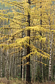 Forest of trees - vertical - with golden yellow firs