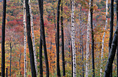 Autumn, Autumnal, Background, Backgrounds, Botany, Color, Colour, Daytime, Detail, Details, Exterior, Fall, Forest, Forests, Grove, Groves, Natural background, Natural backgrounds, Nature, Outdoor, Outdoors, Outside, Pattern, Patterns, Scenic, Scenics, S