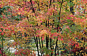 Autumn, Autumnal, Background, Backgrounds, Canopy, Color, Colour, Daytime, Detail, Details, Exterior, Fall, Foliage, Forest, Forests, Natural background, Natural backgrounds, Nature, Outdoor, Outdoors, Outside, Plant, Plants, Red, Scenic, Scenics, Season