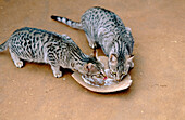 Cats eating. Jodhpur. Rajasthan. India