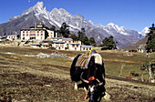 Yak. Thyangboche. Khumbu region. Nepal