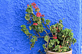 Detail of plant in the Kasbah of the Oudayas. Rabat. Morocco