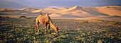 Bactrian Camel. Khongoryn Els Dune. Gobi Desert. Gobi National Park. Omnogov province. Mongolia