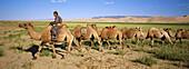 Camel caravan. Khongoryn Dune. Gobi Desert. Omnogov. Mongolia