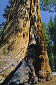 Giant Sequoia Trees Sequoiadendron giganteum, Congress Trail, Giant Forest, Sequoia NP, California