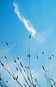 Blue, Blue sky, Cloud, Clouds, Color, Colour, Country, Countryside, Daytime, Exterior, Grass, Grasses, Low angle view, Nature, Outdoor, Outdoors, Outside, Plant, Plants, Scenic, Scenics, Skies, Sky, Stem, Stems, Vegetation, Vertical, View from below, Wor