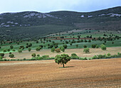 Holm Oaks, Cabañeros Natural Park. Ciudad Real province, Spain