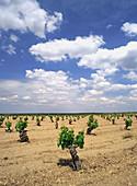 Vineyards in Villacañas. Toledo province. Castilla-La Mancha, Spain
