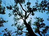 Holm Oaks (Quercus Ilex )