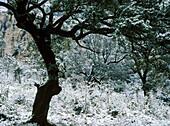 Holm oak wood in winter