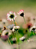 Background, Backgrounds, Botany, Close up, Close-up, Color, Colour, Country, Countryside, Daisies, Daisy, Daytime, Detail, Details, Exterior, Flower, Flowers, Horticulture, Natural background, Natural backgrounds, Nature, Outdoor, Outdoors, Outside, Patt