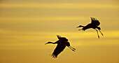 Animal, Animals, Back-light, Backlight, Beauty, Bird, Birds, Calm, Calmness, Color, Colour, Evening, Flight, Flights, Fly, Flying, Horizontal, Migration, Migrations, Motion, Movement, Moving, Pair, Peaceful, Peacefulness, Quiet, Quietness, Silhouette, Si