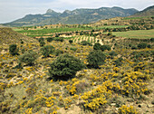 Oaks, juniper. Sierra de Guara. Tojos. Huesca province. Spain.