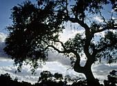 Meadow landscapes. Oak silhouette. Badajoz province. Spain.
