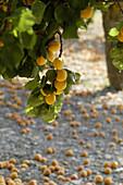 Abundance of apricots in a tree. Mallorca. Balearic Islands. Spain.