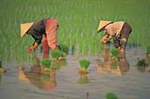 Women picking rice. Vietnam