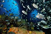 School of two spot demoiselles (Chromis dispilus) in underwater archway. Tie Dye Arch. Poor Knights Islands. New Zealand. South Pacific Ocean.
