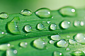 Background, Backgrounds, Close up, Close-up, Closeup, Color, Colour, Daytime, Detail, Details, Drop, Droplet, Droplets, Drops, Exterior, Fragile, Fragility, Fresh, Freshness, Grass, Grasses, Green, Horizontal, Leaf, Leaves, Natural background, Natural ba