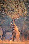 African Elephant (Loxodonta africana). Mana Pools NP. Zimbabwe