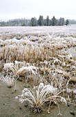 Frosted grasses in Elk Meadow. Yellowstone National Park. Wyoming. USA