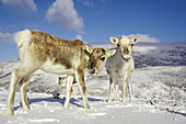 Reindeer (Rangifer tarandus) two youngsters in winter. Cairngorms National Park. Scotland